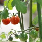 ミニトマトの育て方・プランターで育てる方法