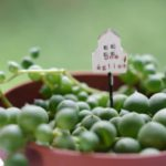 グリーンネックレスの育て方・植え替えや増やし方の方法