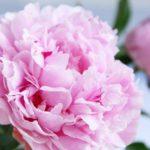 シャクヤク(芍薬)の育て方・花が終わった後の手入れの仕方