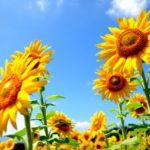 ひまわりの育て方と種まきの方法