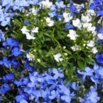 ロベリアの種の入手方法と価格・種の収穫方法