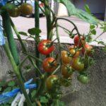 ミニトマトを収穫♪