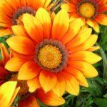 ガザニアの育て方・長期間美しい花が楽しめる育てやすい花
