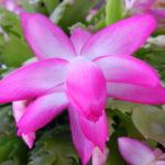 シャコバサボテンの育て方・植え替えと葉摘みの方法