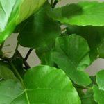 ウンベラータの育て方・植え替えや挿し木の方法