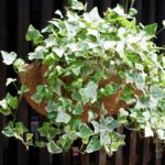 アイビー(ヘデラ)の育て方・植え替えや増やし方の方法