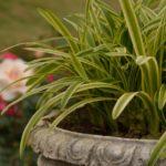オリズルランの育て方・植え替えや増やし方の方法