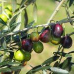 オリーブの育て方・植え替えや挿し木の方法