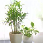 テーブルヤシの育て方・植え替えや増やし方の方法