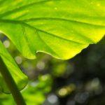 クワズイモも育て方・植え替えや挿し木の方法