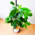 コーヒーの木の育て方・植え替えや挿し木の方法