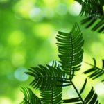 エバーフレッシュの育て方・植え替えや挿し木の方法
