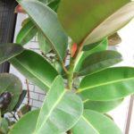 ゴムの木(フィカス)の育て・植え替えや挿し木の方法