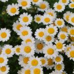 ノースポール(クリサンセマム)の育て方・種まきの方法