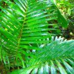 アレカヤシの育て方・植え替えや増やし方の方法