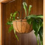 コウモリラン(ビカクシダ)の育て方と植え替え方法