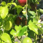 パッションフルーツの育て方・剪定や挿し木の方法