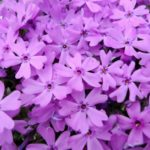 シバザクラ(芝桜)の育て方・剪定と増やし方の方法