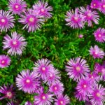 マツバギク(松葉菊)の育て方・挿し木や種まきの方法